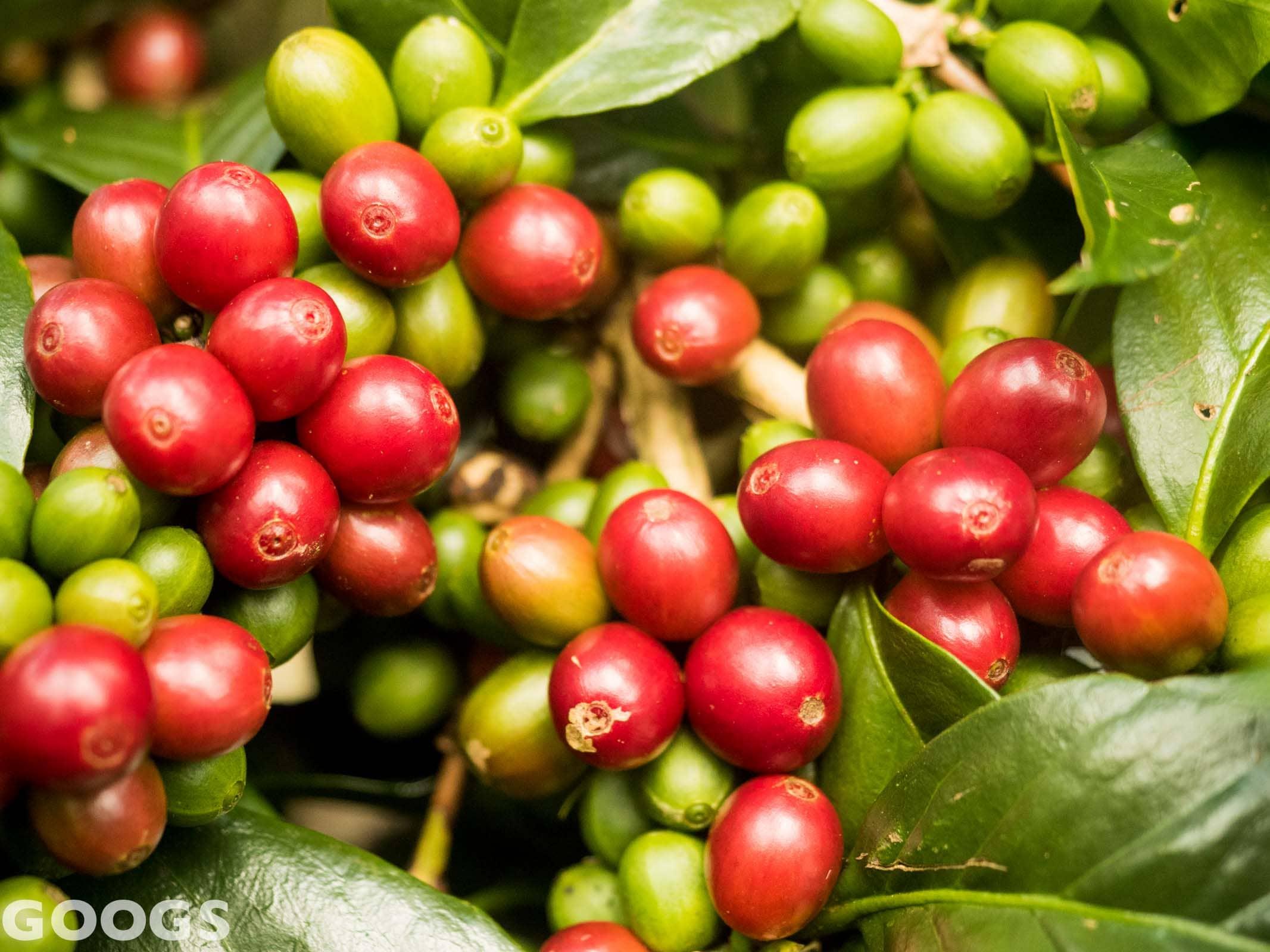 Malabar kaffee